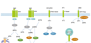 Membrane Transporter/Ion Channel Related Signaling Pathway