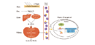 Vitamin D Related Related Signaling Pathway